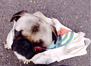rescued pug with eye out of socket