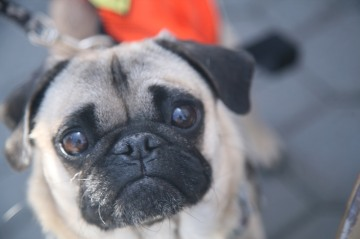 cute pug puppy at adopt-a-thon