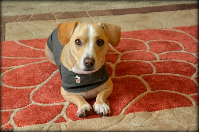 yellow dog wearing a thundershirt