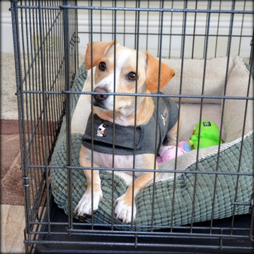 yellow dog wearing thundershirt in crate