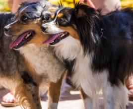 Livermore Dog Adoption