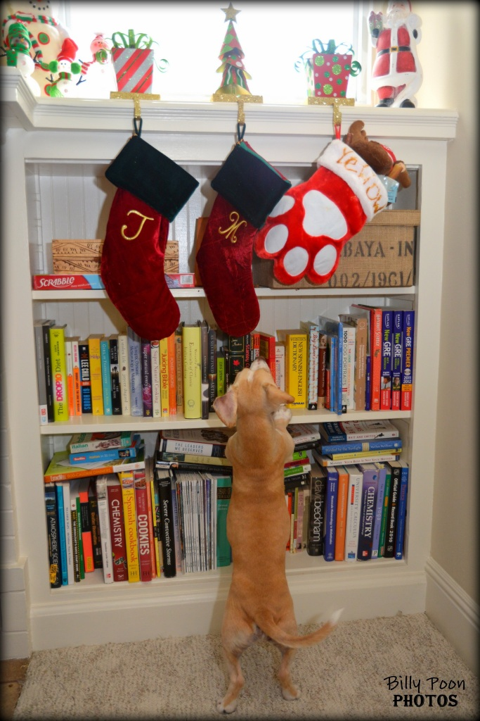 yellow dog reaching for christmas stocking