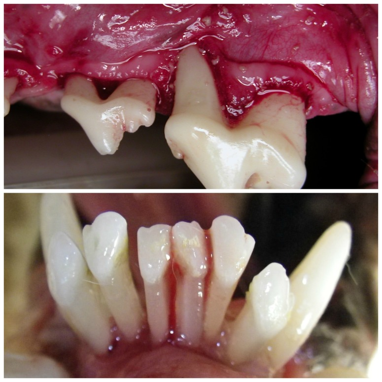Advanced periodontitis is characterized by extreme bone loss and infection. Top image is the view inside a dog's mouth in an anesthesia exam, which you can't see on an awake exam. Notice the crowns look white, but the deterioration of the gums as the roots are exposed. The bottom image shows severe bone loss again with roots exposed.